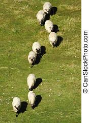 sheep, i en ro, på, den, beta