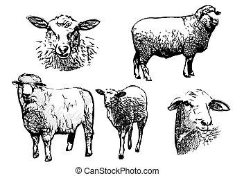 sheep illustrations - sheep vector illustrations