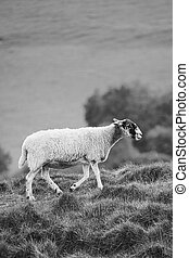 Sheep In A Field In Black And White