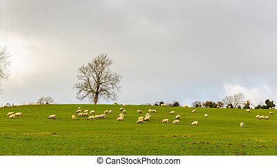 Sheep in a field in winter