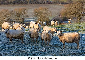 Sheep in A Frosty Field