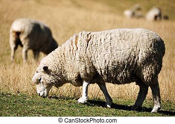 Sheep in a Green Field