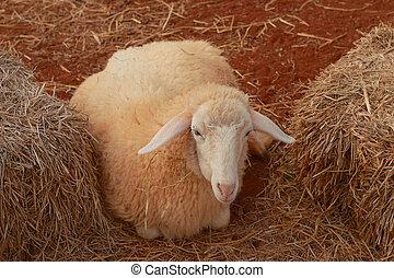 Sheep in a haystack
