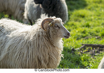 Sheep in a meadow in Germany