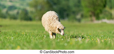 Sheep in a meadow in the mountains