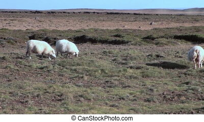 Sheep in a pasture in the mountains of Greenland.