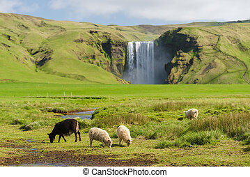 Sheep in a pasture near the Skogafoss waterfall in Iceland