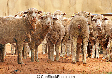 sheep in a row