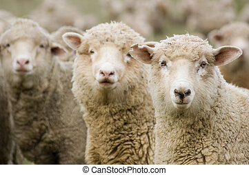 Three sheep within a mob all turning to look in the same direction