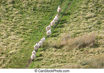 Sheep in a row, walking on the hill in Scotland