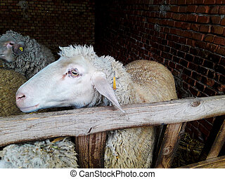 Sheep in a Shed