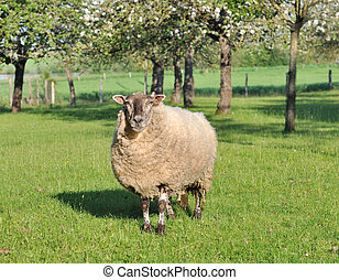 sheep in an orchad