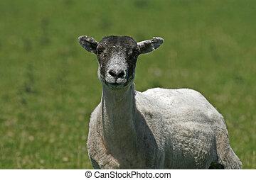 Sheep in Bodmin Moor, Colliford Lake, Cornwall, Southwest England, UK