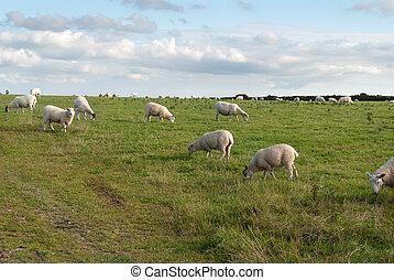 sheep in Cornwall