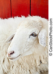Sheep in farm.