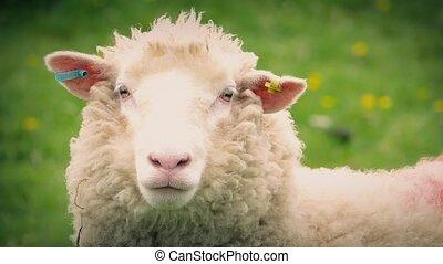Sheep In Field Closeup