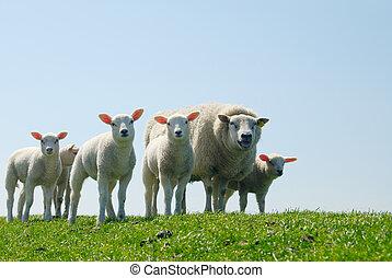 sheep, in, fjäder