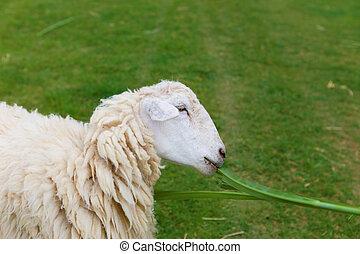 sheep in fram meadow