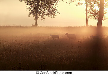 sheep in grass at misty sunrise