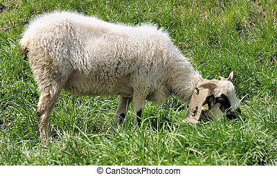 sheep in grass