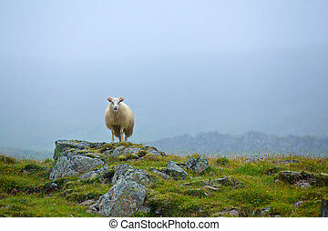 One sheep in grassland in the foggy day. Iceland