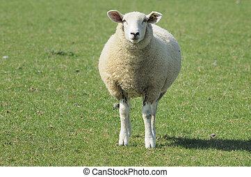 sheep in green field, ardennes - lone sheep looking toward ...