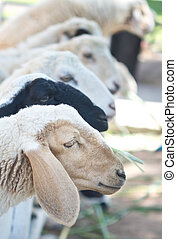 sheep, in, lantgård