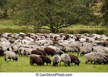 Sheep in Luneburg Heath in Germany