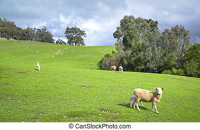 Sheep in meadow of green farm land