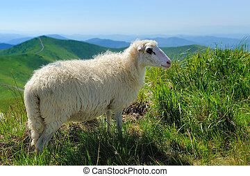 Sheep in mountain