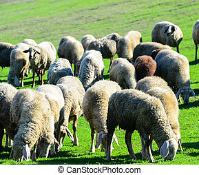 Sheep in nature grazing