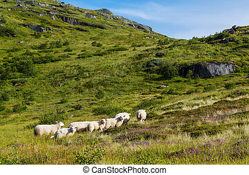 Sheep in Norway