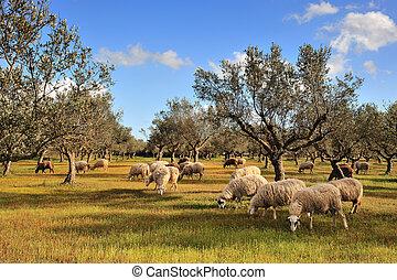 sheep, in, oliv träd, fält