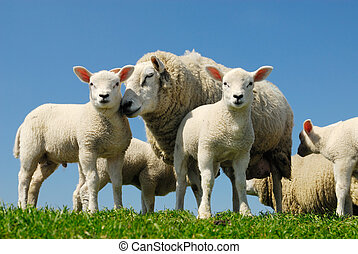sheep in spring - curious lambs and mother sheep looking at...