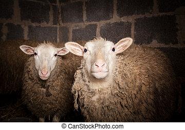Sheep in the barn - Closeup of domestic animal sheep in the ...