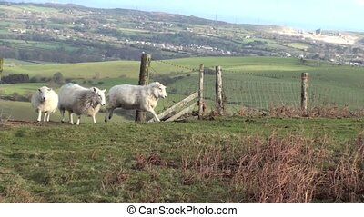Sheep in the countryside jumping and walking through an open...