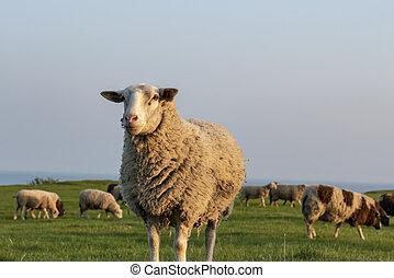 Sheep in the evening sun