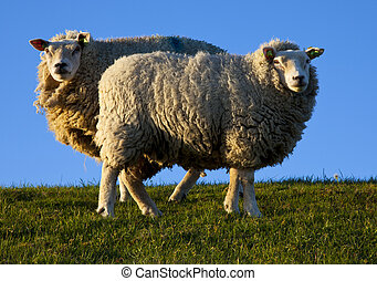 sheep in the eveninglight on texel, the netherlands