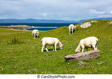 Sheep in the fields of Iona