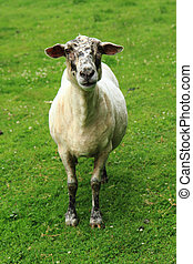 sheep in the green grass