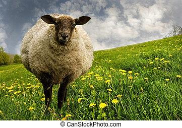sheep, in, uno, prato