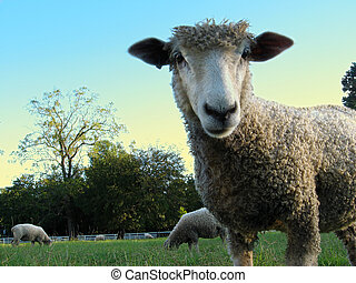 Sheep In Your Face