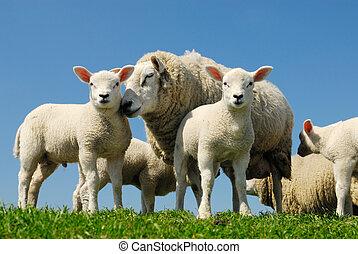 sheep, ind, forår