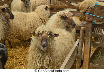 Sheep Inside A Farm In The Gorbeia Natural Park. Animals Nature Portraits. March 26, 2018. Gorbeia Natural Park. Urigoiti Basque Country. Spain.