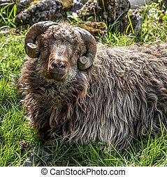 sheep, isla, faroe, corte, cuernos