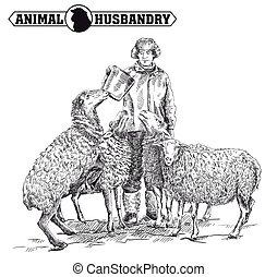 sheep, krmení, farmář