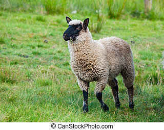 sheep, krmivo, black-faced, suffolk