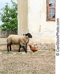 sheep, kuře