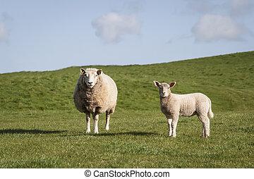 sheep, lamm