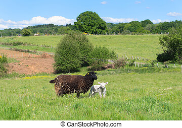 sheep, lamm, svart
